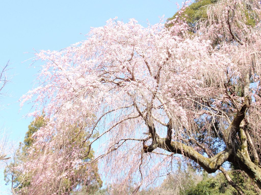 the best place to see cherry blossoms in Japan Kyoto imperial palace