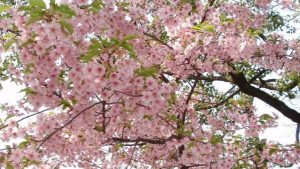 BEST PLACES TO SEE CHERRY BLOSSOMS IN KYOTO