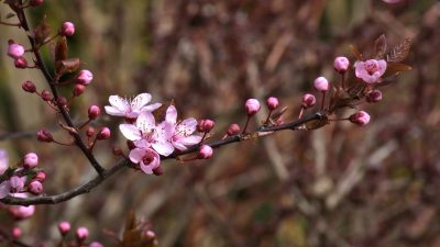 THE SIGNIFICANCES OF JAPAN'S CHERRY BLOSSOMS: PART ONE