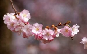THE SIGNIFICANCES OF JAPAN'S CHERRY BLOSSOMS: PART FOUR