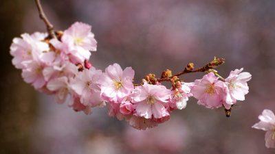 THE SIGNIFICANCES OF JAPAN'S CHERRY BLOSSOMS: PART FOUR