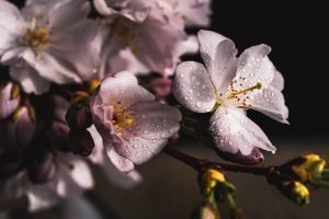 THE SIGNIFICANCES OF JAPAN'S CHERRY BLOSSOMS: PART TWO