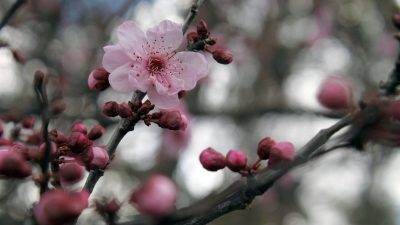 THE SIGNIFICANCES OF JAPAN'S CHERRY BLOSSOMS: PART FIVE